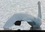 Trumpeter Swan Stretching, Swan Lake, Yellowstone National Park, Wyoming