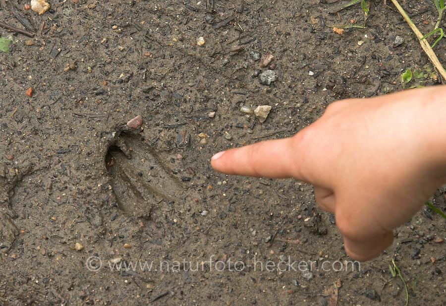 Mädchen zeigt mit dem Finger auf das Trittsiegel, die Fußspur von einem Reh im Schlamm, Reh-Wild, Capreolus capreolus, Roe deer