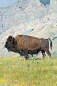 Bison - Bison bison bison