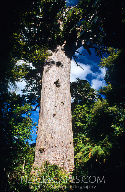 "Tane Mahuta - ""Lord of the Forest"" - largest NZ Kauri tree well over 1000 years old - Waipoua Kauri Forest, Northland, New Zealand"