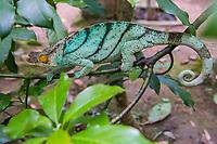 Africa, Madagascar, Island, Andasibe-Mantadia Park. Male Parson's chameleon.