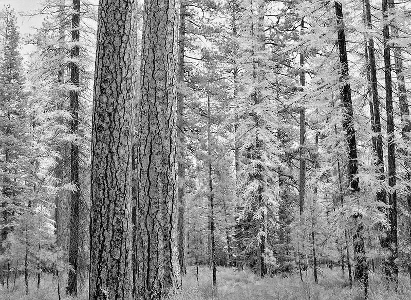 Ponderosa pine and Tamarack in fall color. Near Sisters, Oregon