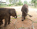Touching elephant story - <br /> <br /> Namal and Hercules (smaller of the two)  - two &quot;disabled&quot; baby elephants that have formed a special friendship at Elephant Transit home in Sri Lanka.<br /> Namal has a false leg after being shot- probably caught in crossfire by ivory poachers - he was rescued by rangers and taken to elephant hospital where he underwent life saving surgery. He was later fitted with a prosthetic leg.<br /> <br /> Hercules was caught in a trap unscrupulous pet hunters, but again was rescued by national park rangers before being captured. Sadly he  now has a deformed kneed due to his injuries.<br /> A &quot;transit home&quot; is different to an &quot;orphanage&quot; because it is planned to return all the elephants to the wild once they are strong enough. But whether these two will ever be strong enough remains to be seen. <br /> There are wild herds of elephants in Uda Walawe National Park in the south of the island to which the transit home is attached.<br /> <br />  Many of the other 20 or so elephants were rejected by their mothers or their mothers were killed by poachers. <br /> Hercules and Namal are led out before the main group to protect them from the scrum for milk feeding. The main bunch follows them out and the pair are moved to the centre of the compound for safety. <br /> After milk feeding, grasses are spread around for elephants to feed on where they jockey for the best pickings three times a day. <br /> Again Hercules and Namal are kept back and allowed to stay after the main bunch has been led out so they can get their feed.<br /> During the main feeding Namal, 10 months old,  is very nervous due to his plastic leg . But plucky Hercules, just four months, ventures into the main bunch to get a drink from a nearby pond. <br /> Heartbreakingly he stumbles and drops several times to one knee. In the end the step down to the pond proves too much for him and he gives up.<br /> On the back back through the crowd to his chum Na