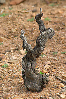 Goblet pruned vines in the vineyard. Gamay. Dead vine needing replacement. Domaine Tracot Dubost, Beaujolais, France