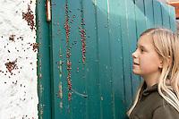 Asiatischer Marienkäfer, Harlekin, Kinder entdecken hinter einem Fensterladen Massenansammlung der Käfer im Herbst zur Überwinterung an einem frostsicheren Platz, Harmonia axyridis, Asian lady beetle, Harlequin lady beetle