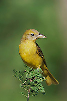 Summer Tanager, Piranga rubra, female on Catclaw (Acacia greggii), Willacy County, Rio Grande Valley, Texas, USA, June 2006
