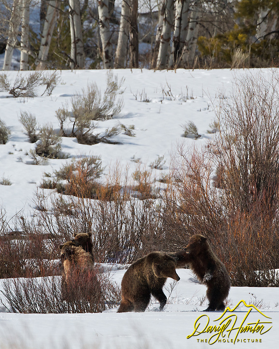 Grizzly 610 and cubs wrestling and having a good old time in Grand Teton National park