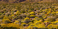 Evening light on the Sonoran Desert Glorieta Canyon - Anza Borrego State Park, superbloom March 22, 2017 with Encelia farinosa, Brittlebush flowering shrub and Barrel Cactus