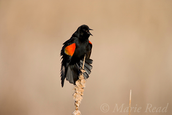 Red-winged Blackbird (Agelaius phoeniceus) male calling and displaying, Montezuma National Wildlife Refuge, New York, USA