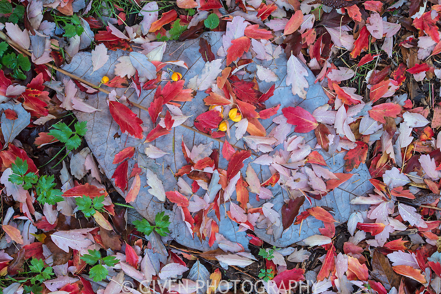 Fallen Magnolia and Paperbark Maple leaves with Myrianthus berries