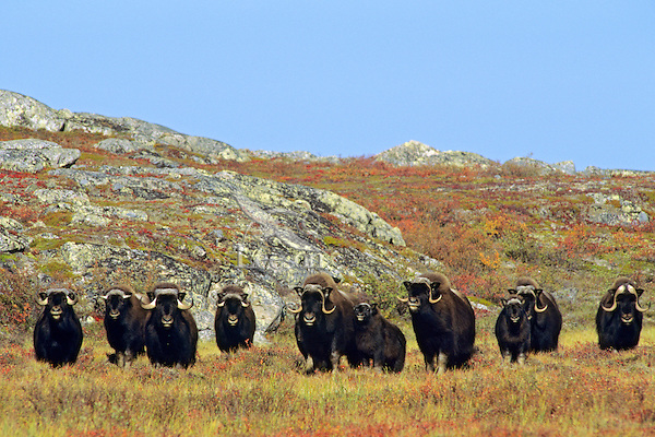 Muskoxen herd (mostly cows and calves) in Canadian tundra.