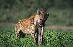Spotted hyena, Crocuta crocuta, eating bone, Etosha national park, Namibia