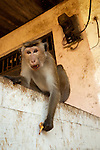 Toque Macaques leave their reserve home to scavenge in market areas for rubbish and water. This individual is showing aggression by raising its eyebrows and baring its canines. Polonnaruwa, Sri Lanka. IUCN Red List Classification: Endangered