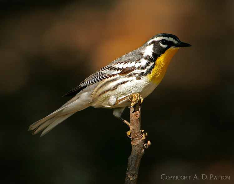 Adult male yellow-throated warbler