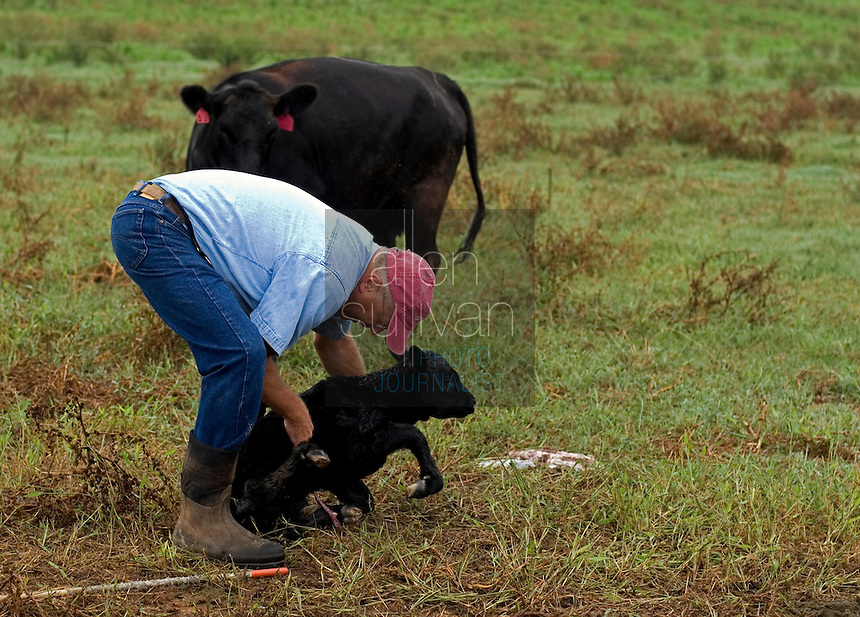 John Stuedemann works with his cattle in Comer, Ga. on Monday, Sept. 25, 2006. Stuedemann says he applies techniques with his cattle that he has learned since childhood in Iowa, such as positive reinforcement, minimal occurrences of pain or fear, and calm motions and speech. (IMAGE CURRENTLY ON LICENSE TO 'THE PROGRESSIVE FARMER' MAGAZINE; WILL BE AVAILABLE FOR USAGE IN APRIL 2007.)