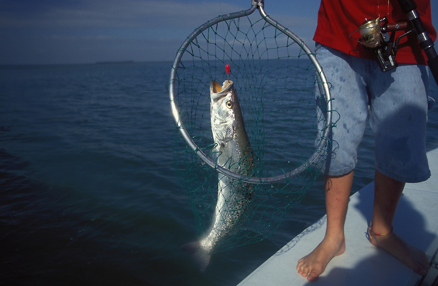 Special trout, Weakfish in net, Florida Keys.