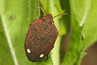 Schildwanze, Solenosthedium bilunatum, shieldbug, Schildwanzen, Scutelleridae, jewel bugs, metallic shield bugs, shield-backed bugs