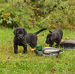 Black Labrador retriever puppies playing with duck decoys.
