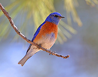 Adult male western bluebird in pine tree