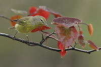 Orange-crowned Warbler, redbud tree perch in spring.