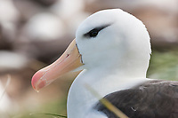 Black-browed albatross, Steeple Jason Island in the Falklands.