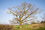 Leafless oak tree stands alone on field boundary, Sutton, Suffolk, England