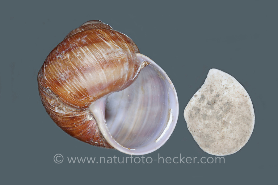 Weinbergschnecke, leeres Gehäuse, Schneckenhaus mit Operculum, Weinberg-Schnecke, kriecht über eine Mauer, Steinmauer, Helix pomatia, Roman snail, escargot, escargot snail, edible snail, apple snail, grapevine snail, vineyard snail, vine snail