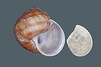 Weinbergschnecke, leeres Gehäuse, Schneckenhaus mit Operculum, Weinberg-Schnecke, kriecht über eine Mauer, Steinmauer, Helix pomatia, Roman snail, escargot, escargot snail, edible snail, apple snail, grapevine snail, vineyard snail, vine snail