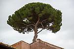 Rome, Italy, stone pine (Pinus pinea)
