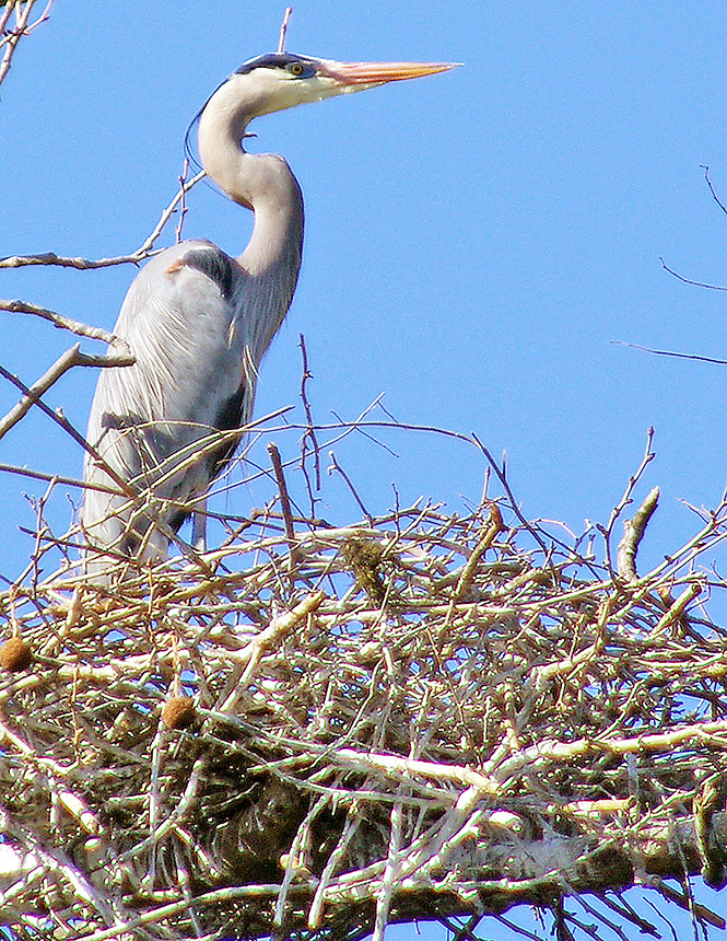Great blue heron on nest, White River, Arkansas
