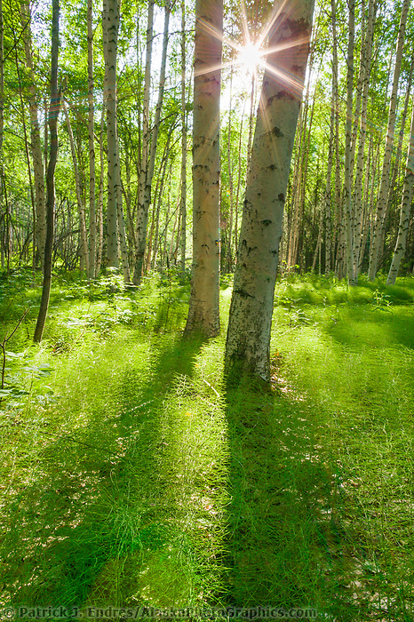 Alaska paper birch trees in a boreal forest with the forest floor covered with bright green, fresh growth of equisetum, Fairbanks, Alaska