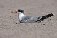 Caspian Tern - Hydroprogne caspia - Adult in transition to breeding