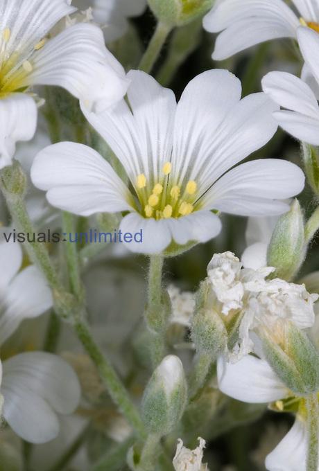 Snow-in-Summer flowers (Cerastium tomentosum)