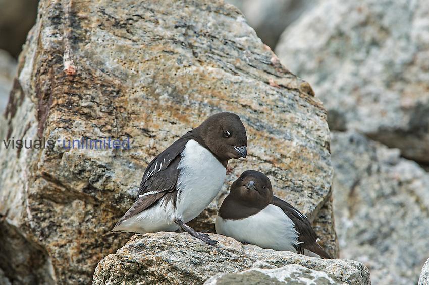 Little Auk or Dovekie (Alle alle), Spitsbergen Island, Norway