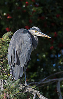 A Great blue heron perches in front of a tree laden with berries.