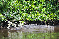 Crocodiles in the Lamanai river, Belize