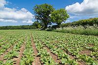 Sugar beet crop - Norfolk, May
