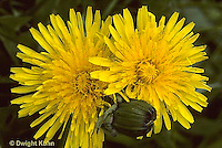 DN01-022a  Dandelion - bud and opened flowers - Taraxacum officinale