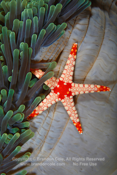 colorful sea star on carpet sea anemone | Marine Photography
