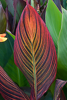 Huge plant leaf of striped Canna Durban Orange