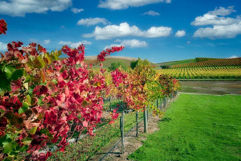 Rows of fall colored grapes. Vineyards of Napa Valley, California