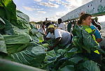 Tonya Grubb, at right is a blur of motion as she quickly moves cabbage from a trailer fresh from the field into boxes for shipping at Baylor Farms in west Flagler County, Wednesday, Jan. 5, 2005.(Brian Myrick)