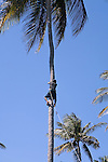 Dominican man climbs up palm tree to retrieve coconuts, Cofresi, Dominican Republic