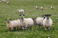 Ewes and lambs on grass<br /> ©Tim Scrivener Photographer 07850 303986<br />      ....Covering Agriculture In The UK....