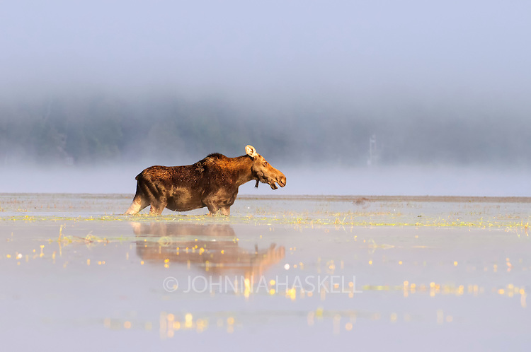 Female moose in morning fog being followed by a male moose as it is prime rut season in the early fall in Maine.