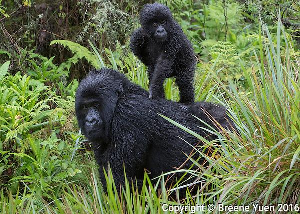 Gorilla Baby Rides Elder Rwanda 2015
