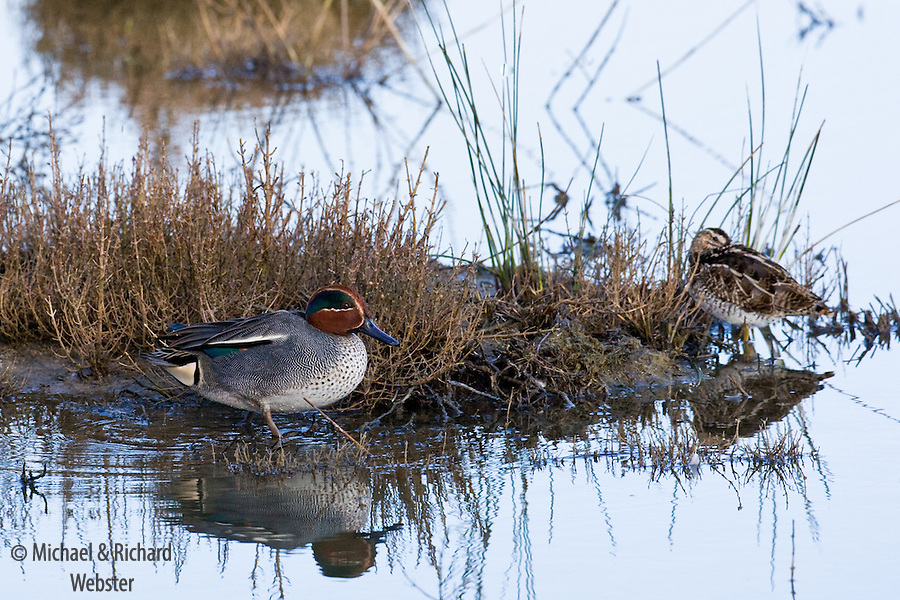 A Teal and a Snipe rest close to a tussock of vegetation out on the marsh.