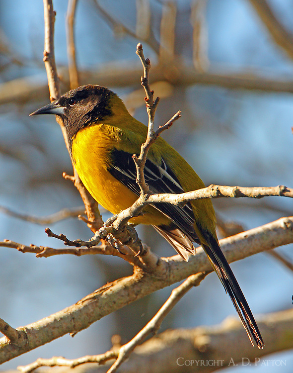 Adult Audubon's oriole