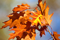 Fall Oak Leafs