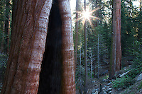 Burned out Giant Sequoia tree with sunburst in Grant Gove. Kings Canyon National Park, California